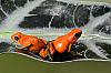 Salt Creek O. pumilio Proven Pair