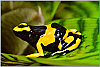 British Guyana D. leucomelas Adult trio