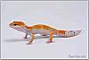 Male Tangerine Leopard Gecko