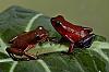Rio Terribe O. pumilio, Sexed Pair