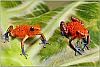 Cristobal  O. pumilio Sexed Pair