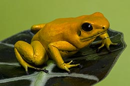 Larger Frogs and Sexed Frogs