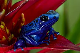 Juvenile Dart Frogs