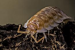 Fancy Isopods