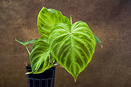 Philodendrons and Vines