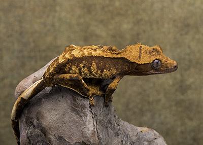 Female Crested Geckos