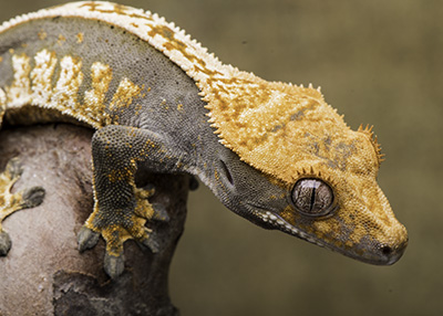 Male Crested Geckos