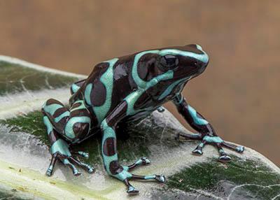 "D. auratus ""Costa Rican Green and Black"""