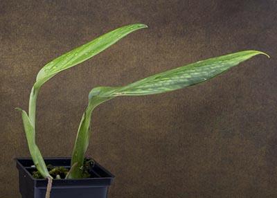 Monstera standleyana aurea variegated