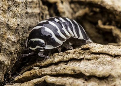 """Armadillidium maculatum """"Zebra"""""""
