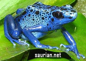 "D. tinctorius ""Azureus"", Large Juveniles"