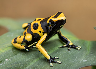 Bumble Bee Dart frog, D. leucomelas, Large Juvenile