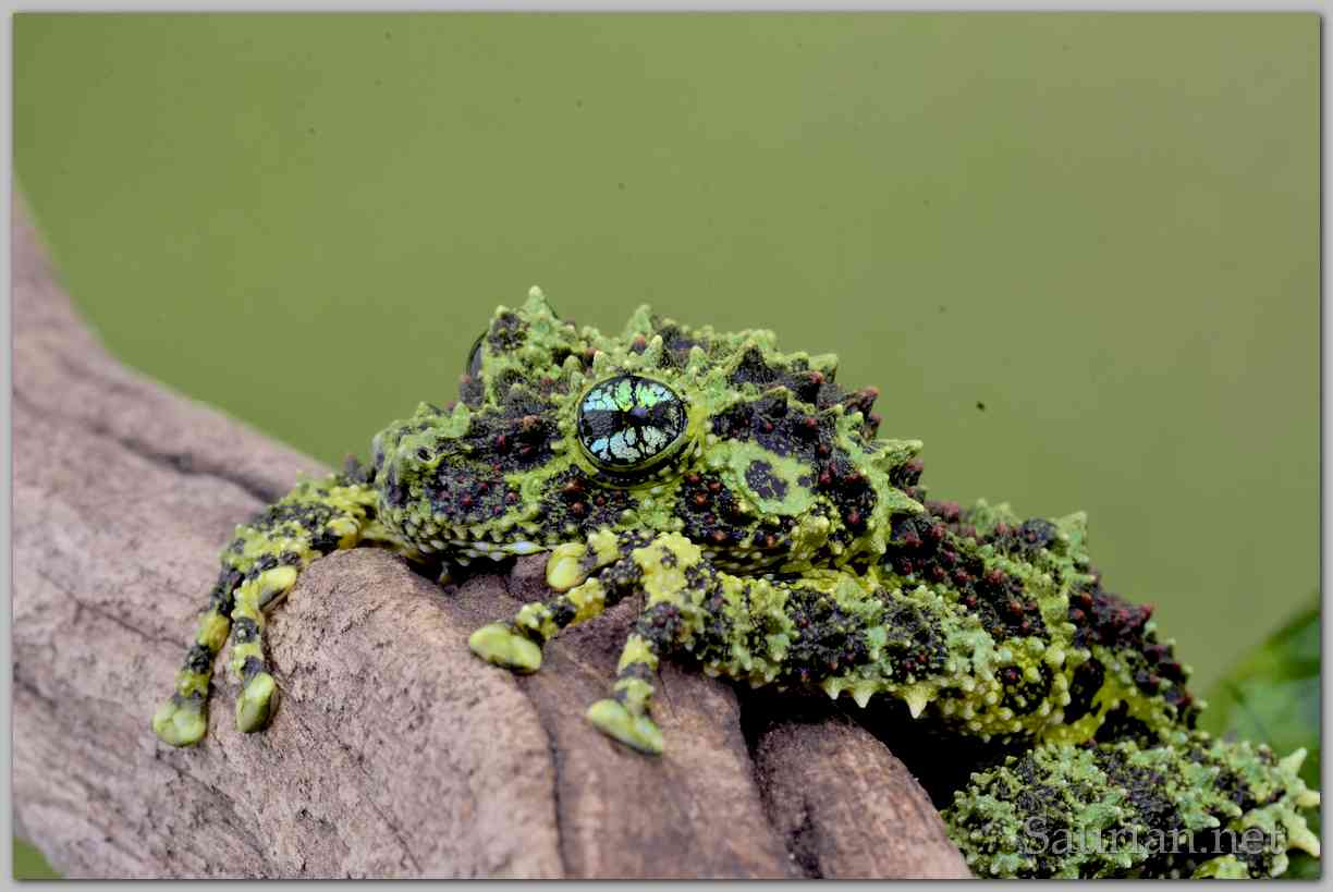 Vietnamese Mossy Frogs, Cold Raised