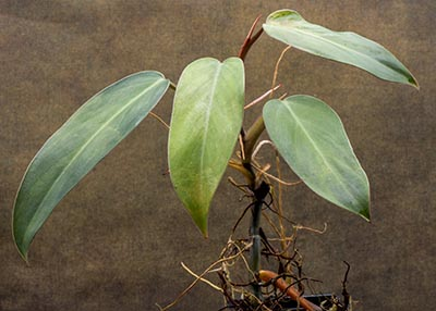 Philodendron erubescens (Red Emerald)  cutting