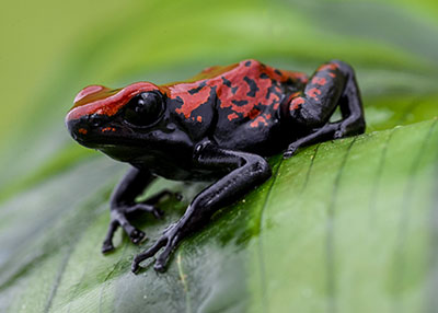 Red  A. galactonotus, Large Juveniles