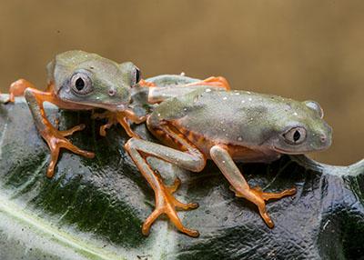 Tiger Leg Monkey Frog (P. tomopterna)  4