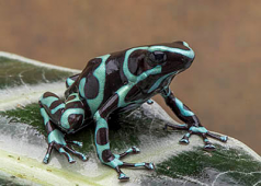 "D. auratus ""Costa Rican Green and Black"""