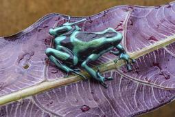 Costa Rican D. auratus Large Juveniles