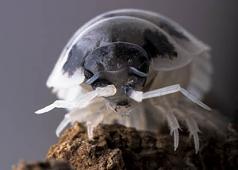 "Porcellio laevis ""Dairy Cow"" Isopods (10)"