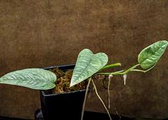Epipremnum pinnatum 'Cebu Blue'