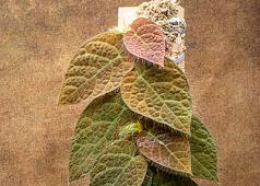 Ficus villosa  Larger Plant
