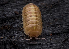 "Armadillidium vulgare ""Golden""  (10)"