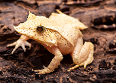 Solomon Isles Leaf Frog, Juveniles