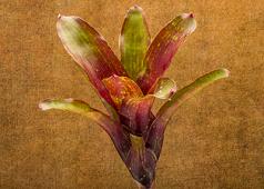 Neoregelia sp. Bromeliads