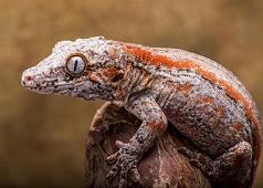 Male Orange Stripe Gargoyle 20g G15