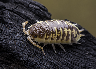 "Porcellio ornatus ""Chocolate High Yellow"" Isopods (10)"