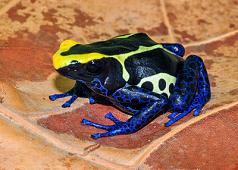 Surinam Cobalt D. tinctorius, Large Juveniles