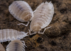 "Porcellio Scaber, ""White Out"" Isopods (10)"