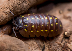 "Armadillidium sp. ""Spotted Albania"" 10"