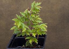Begonia minutifolia