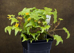 Begonia prismatocarpa