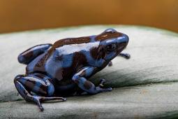Blue form D. auratus Large Juveniles
