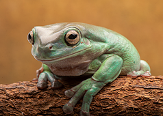 Blue Phase Whites Tree Frog Adult Males