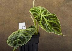 """Philodendron verrucosum """"Dwarf"""""""