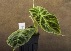 "Philodendron verrucosum ""Dwarf"" cutting"