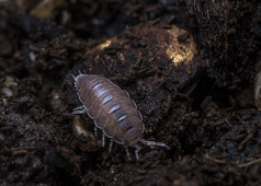 Dwarf Purple Isopods (24)