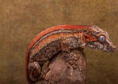 Male Orange Stripe Gargoyle 28g G2