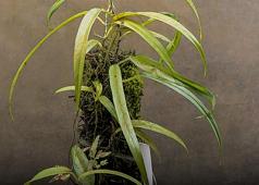 Philodendron chinchamayense