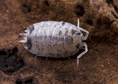 P. scaber Dalmation Isopods (10)