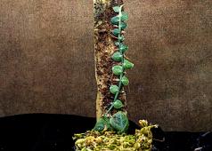 Rhaphidophora cryptantha mount