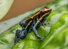 "Ranitomeya amazonicus ""Iquitos"""
