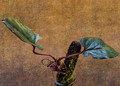 Syngonium erythrophyllum 'Llano Carti Rd'