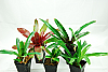 Bromeliad Value Pack