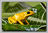 Yellow Phase P. terribilis Large Juveniles
