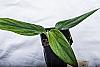 Monstera standleyana aurea variegata