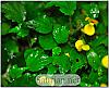Begonia prismatocarpa cutting